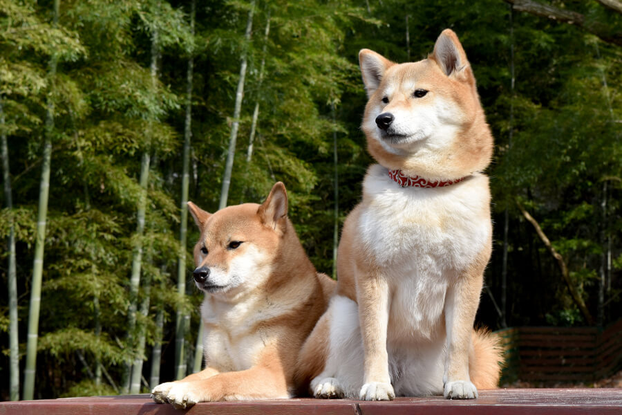 柴犬の歴史