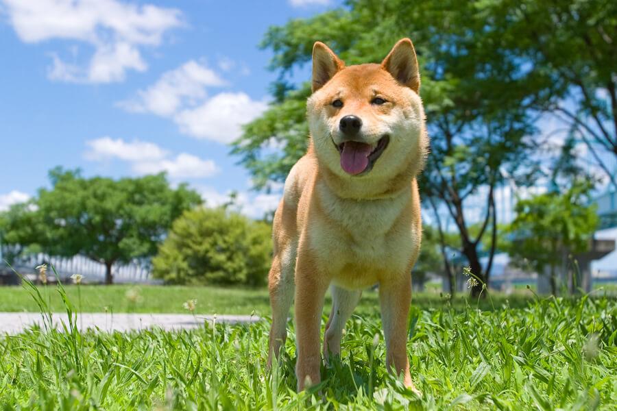柴犬の特徴や性格