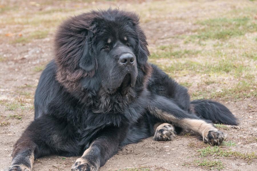 チベタンマスティフの飼い方