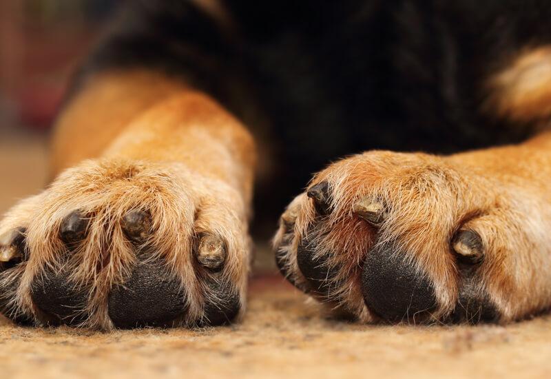 深くは切らないで!犬の爪には神経や血管が通っています!