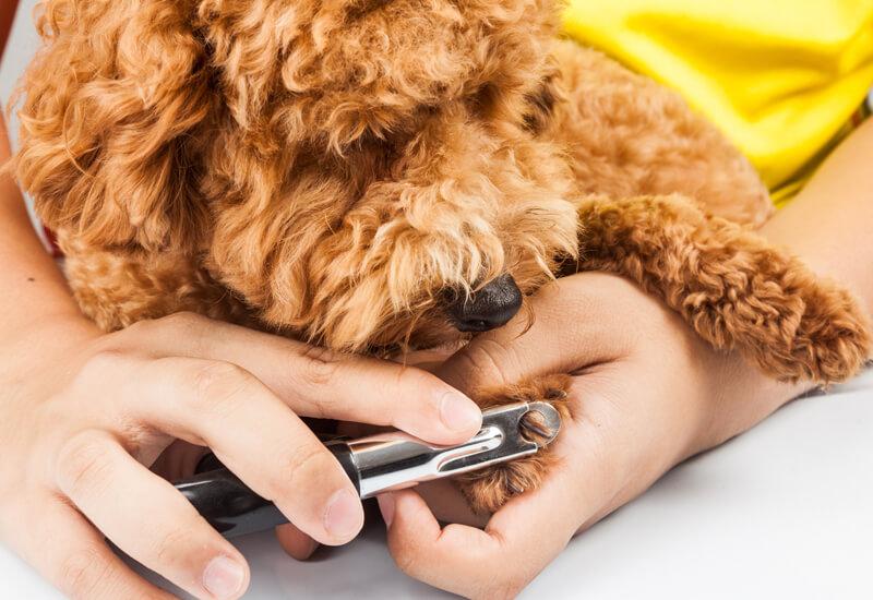 犬の爪切りの方法、コツまとめ!トレーニングを積んで愛犬の爪のケアをしよう