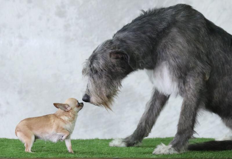大型犬は平均寿命が短い