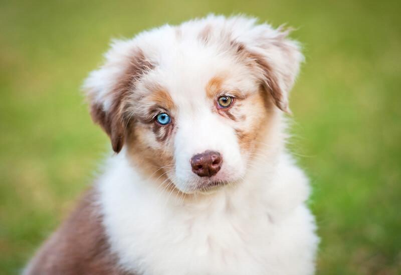 犬の目の形や色は種類が豊富!代表的な色から神秘的なカラーを持つ犬種たち
