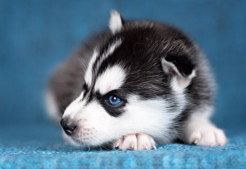 ブルーは遺伝的に劣性のカラー