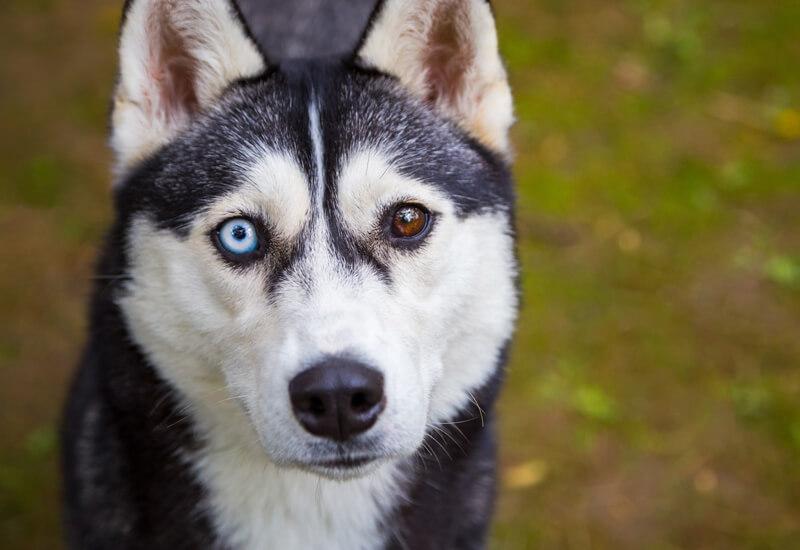 ハスキーは両目の色が違っても虹彩異色症とは呼ばない