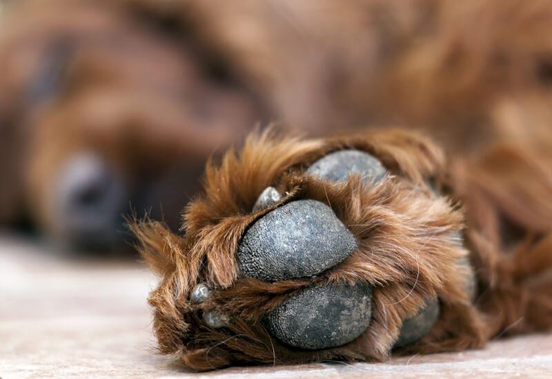 犬の肉球は何のためにあるの?ケアの仕方や肉球の役割について
