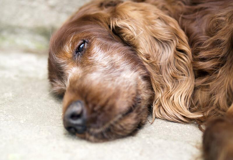 犬が寝たきりになったら床ずれ・排泄・食事のケアを