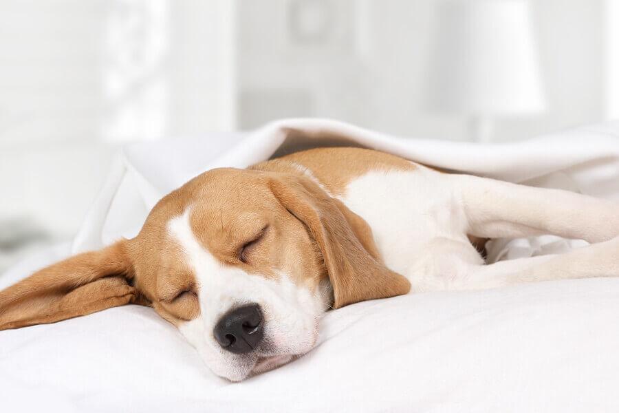 いびきをかきやすい犬種は?