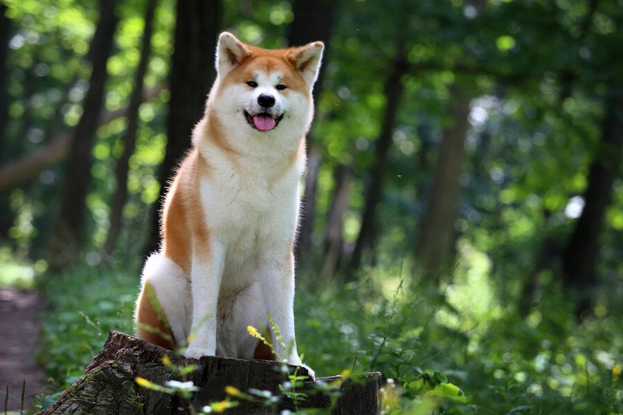 秋田犬の歴史