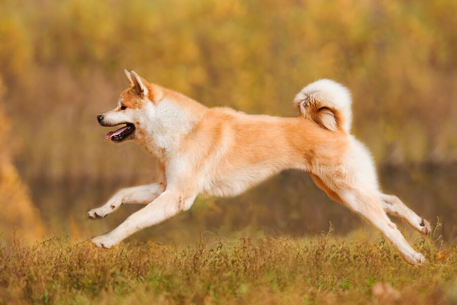 秋田犬の飼い方