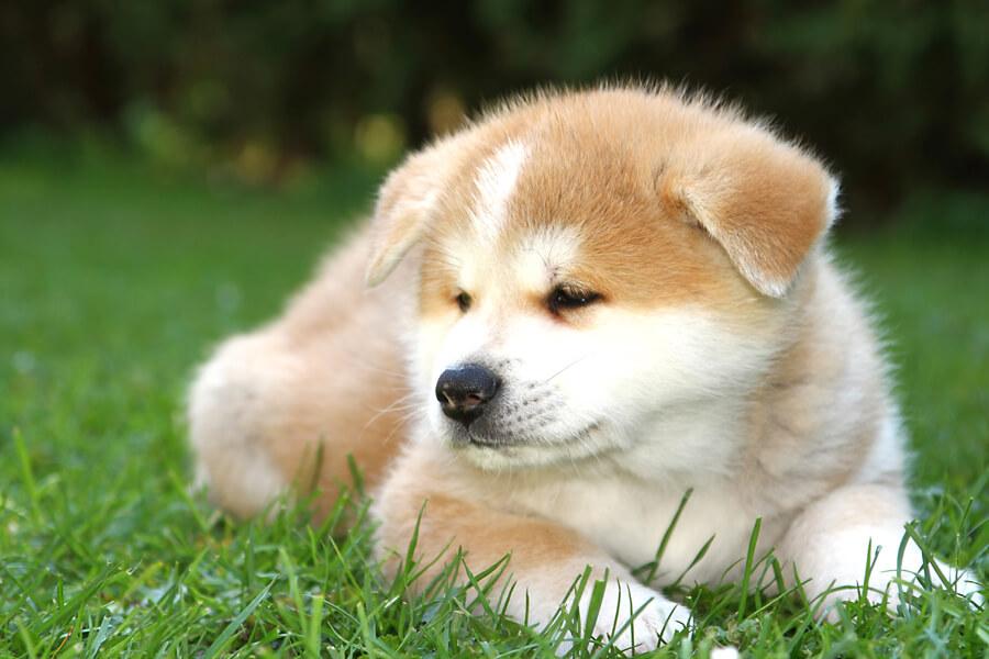 秋田犬の毛色