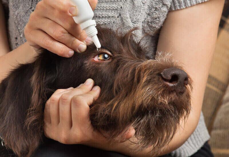 愛犬の目の中にゴミが入ってしまっている場合の対処法