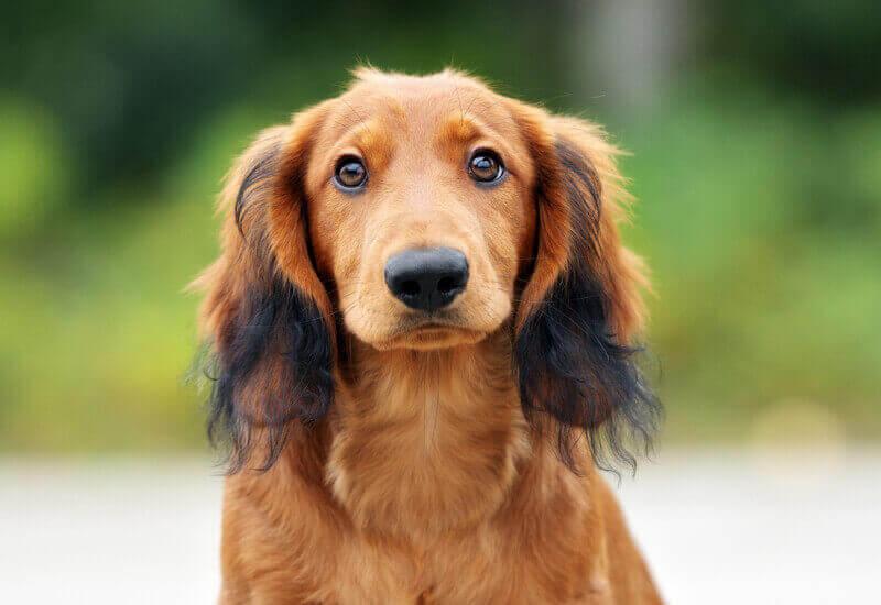 犬の目に入ったゴミは無理してとる必要は無い