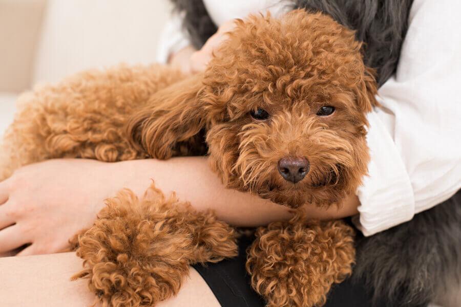 成長期の小型犬はレッグペルテス病になりやすい