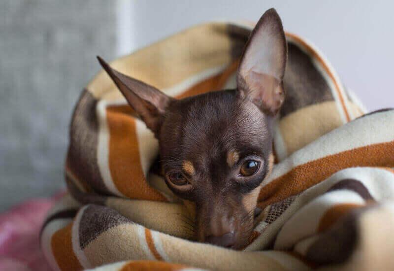 冬シーズン到来!寒さに弱い犬種と防寒対策。犬の体感温度に関わる4つの要素とは?