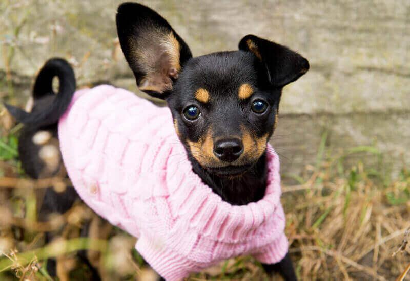 特に寒さに弱いのは「シングルコートで短毛の小型犬」