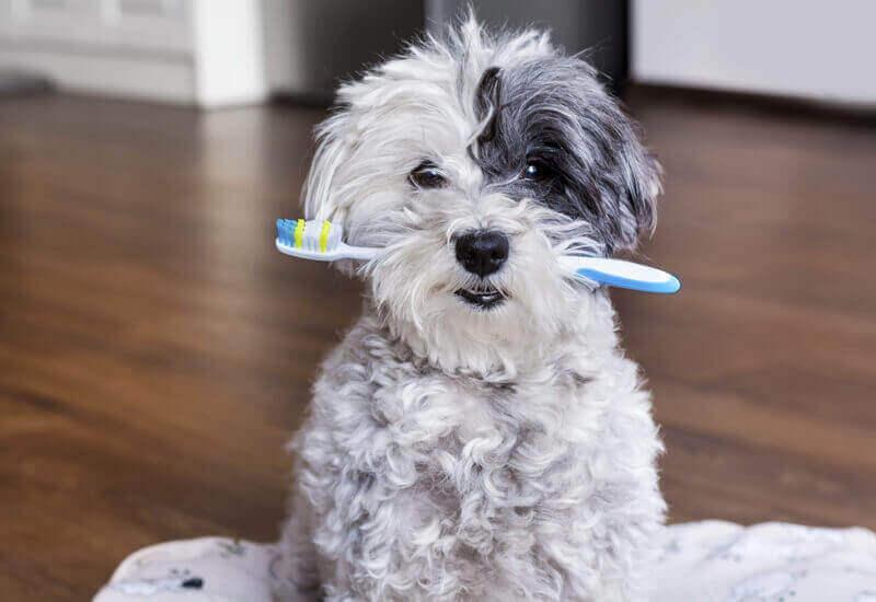 歯を清潔に保つために。自宅でできる愛犬の歯磨き方法とコツまとめ!
