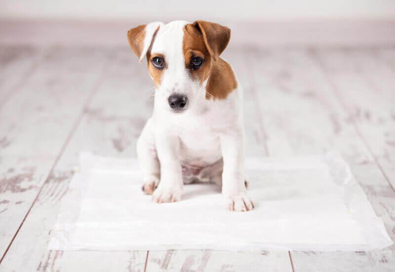 愛犬のしつけ「トイレのトレーニング方法と成功の秘訣4つのポイント」