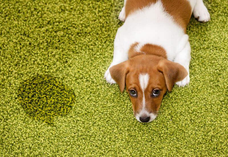 犬と暮らすならトイレのしつけは絶対必要