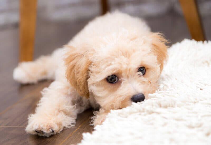排泄の回数が多い子犬のうちがトレーニングのチャンス