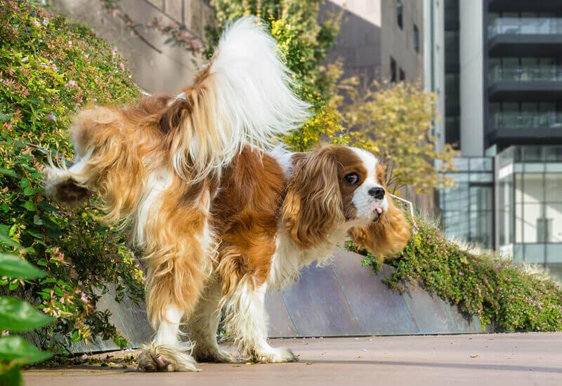 オス犬に多い足上げおしっこはどう対処する?