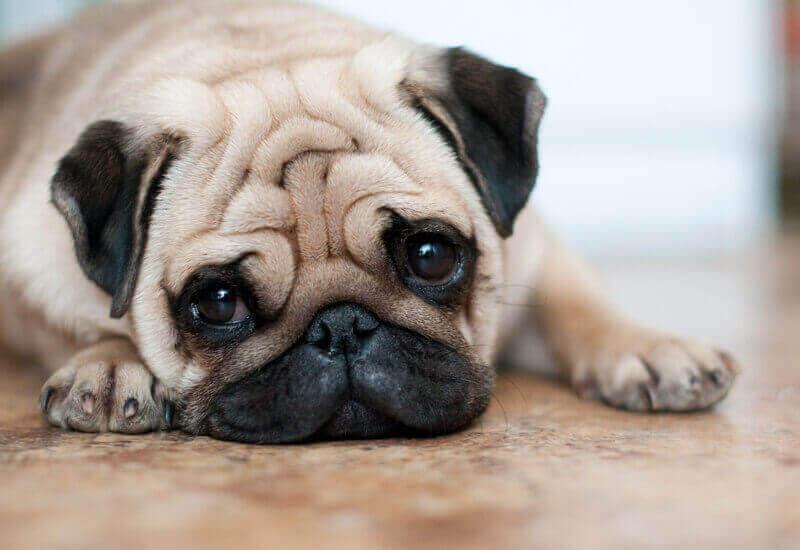 糖尿病の犬に与えるのは避けて