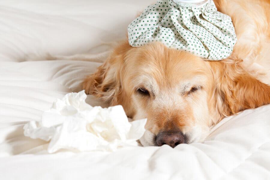 インフルエンザは犬にもうつる?犬のインフルエンザの症状や予防法について