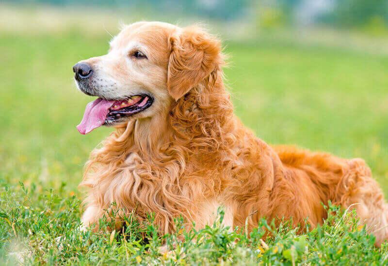 憧れの大型犬!「賢い」の代名詞、レトリーバー種(レトリバー種)のわんこたち