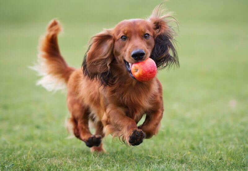 犬はりんごを食べても大丈夫?りんごを与えるメリットと注意点