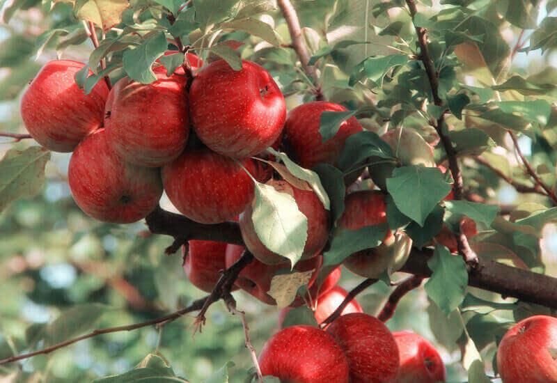 甘くて美味しいりんごには栄養素がたっぷり!
