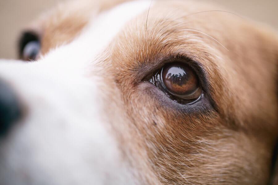 犬の白内障ってどんな病気?白内障の原因や症状、治療法や予防方法について