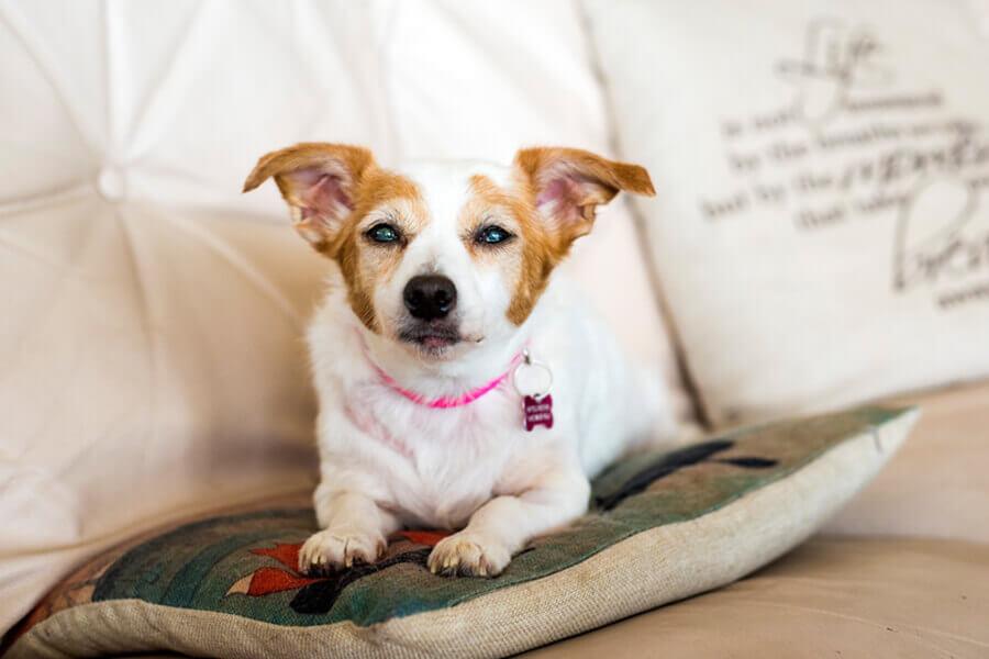 高齢犬に多い白内障の原因や症状について解説!治療や白内障の