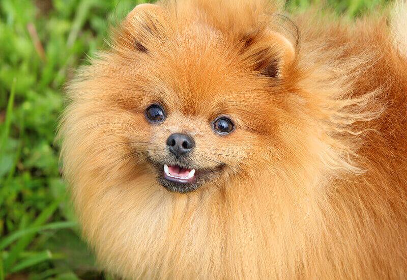 人気犬種ポメラニアンのルーツ!スピッツ系犬種の歴史や種類、魅力について