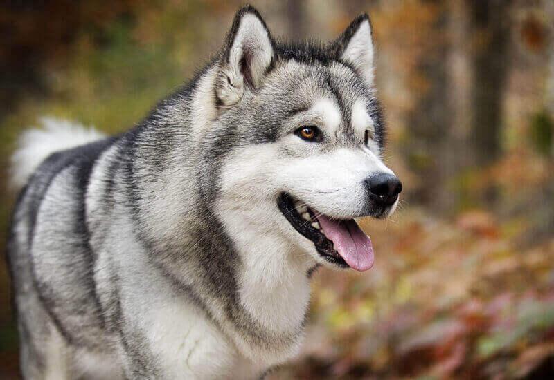 もっとも原始的な見た目を持つ「スピッツ系犬種」