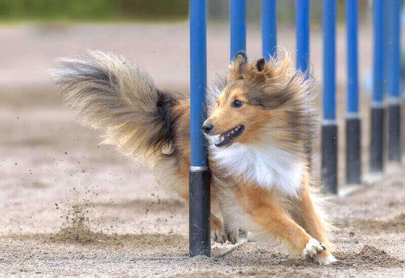 アジリティーはどんな犬種でも楽しめる!練習に必要な道具やおすすめの体験施設をご紹介