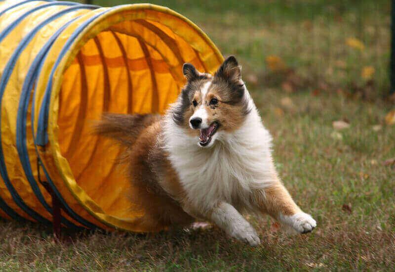 アジリティーを始めて愛犬と楽しいスポーツライフを!