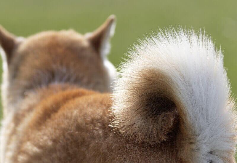 犬のしっぽの形は種類が豊富!愛犬の尻尾はどのタイプ?代表的な犬種をご紹介