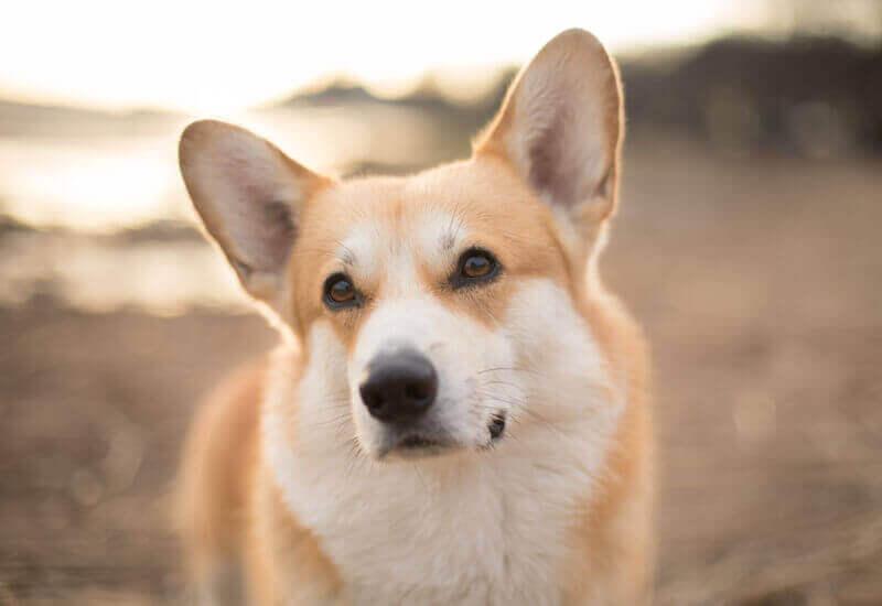 なかには断尾が基本の犬種も存在する