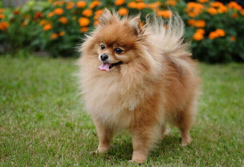 小型犬は涙やけを起こしやすい