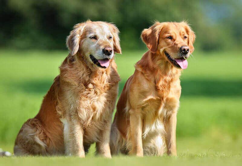 シニア犬こそお散歩へ!散歩に期待できる効果と注意点について