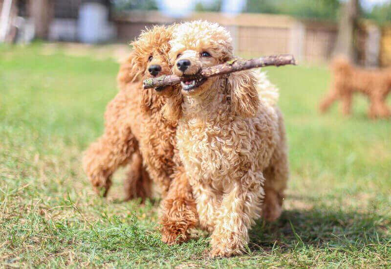 抜け毛が少ないシングルコートの犬