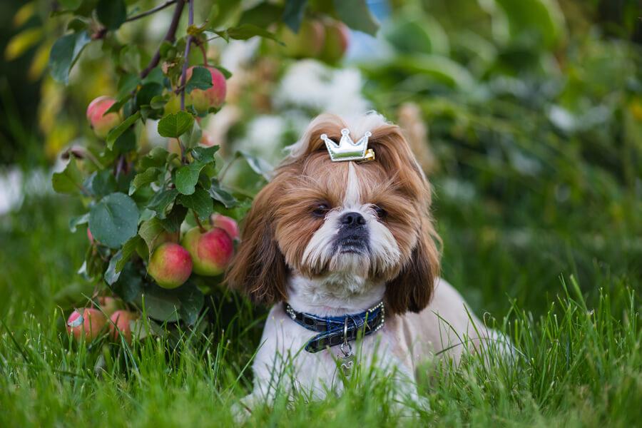 アトピーの犬は花粉症になりやすい