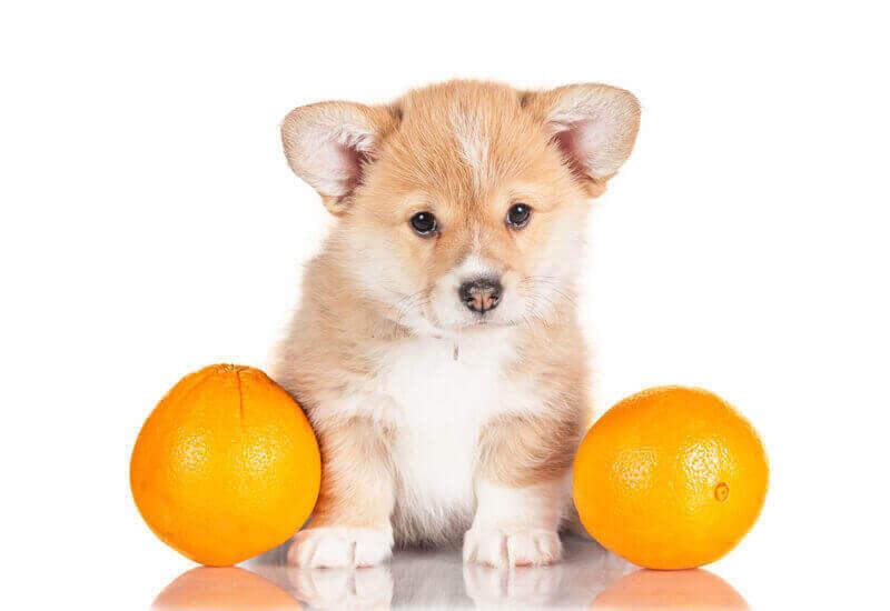 犬は柑橘類を食べても大丈夫?みかんやグレープフルーツなどを犬に与えるメリットと注意点
