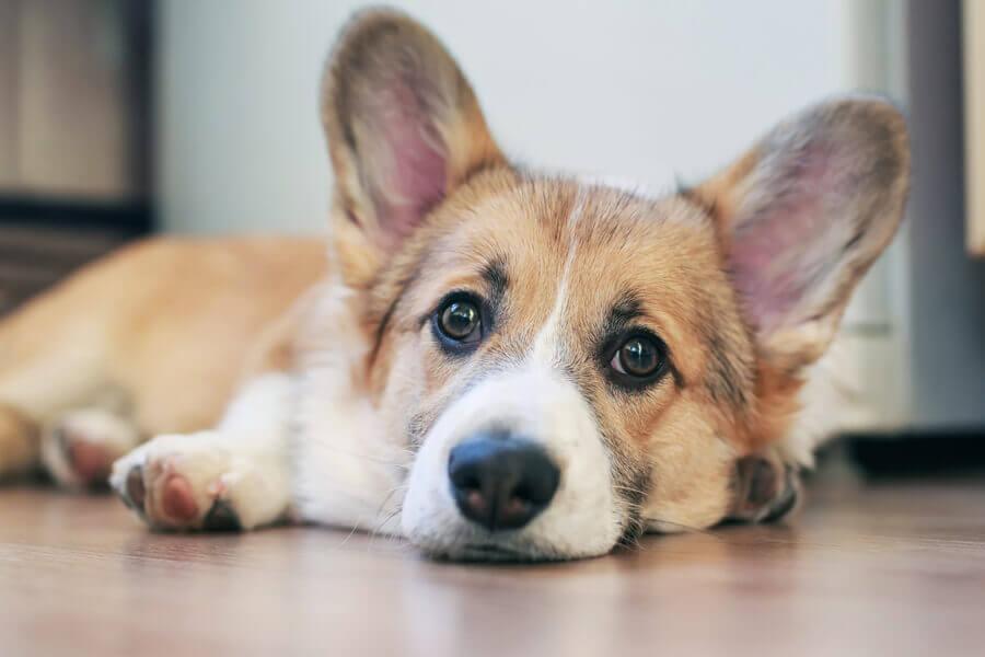 胴長短足の犬種に多い「椎間板ヘルニア」