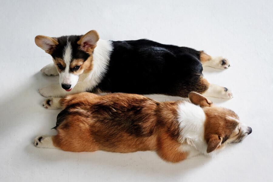 寒い地方原産の犬種に多い「急性湿性皮膚炎」