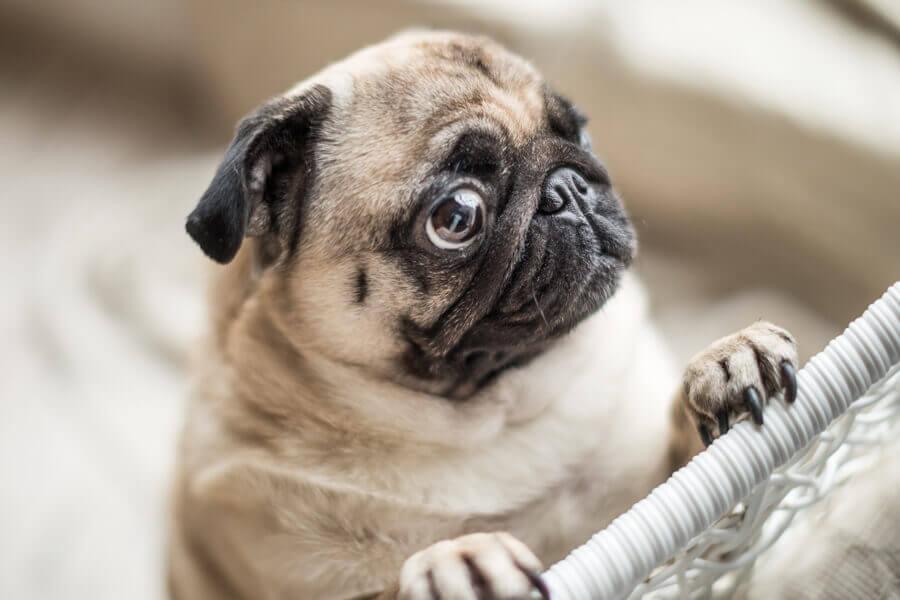 短頭蓋犬種は特に注意「熱中症」