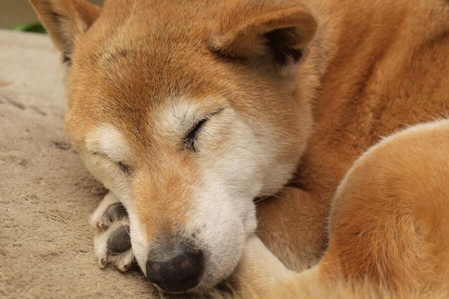 圧倒的に柴犬の発症率が高い「アトピー性皮膚炎」