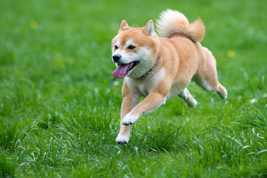 老犬になったら注意「認知症(認知機能不全症候群)」