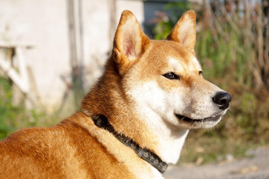 柴犬に多い原因不明の病「乳び胸」