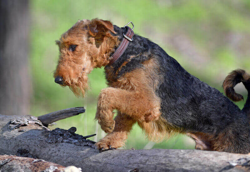 生粋の猟犬であるテリア犬種